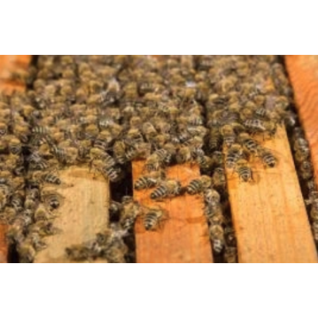 Langstroth Nuc With Iberian Bees Bees and queens