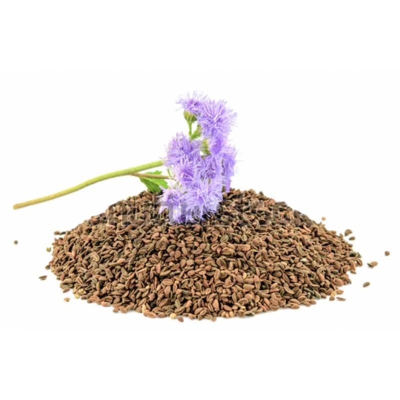 Phacelia Tanacetifolia seeds 0,5kg OTHERS