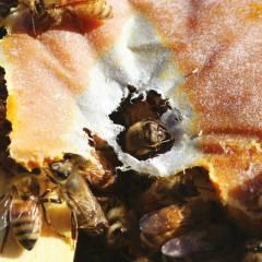 Ultra Bee Patties 1lb Proteico