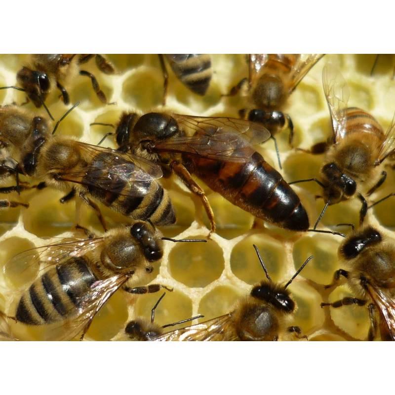 Reina virgen Bees and queens