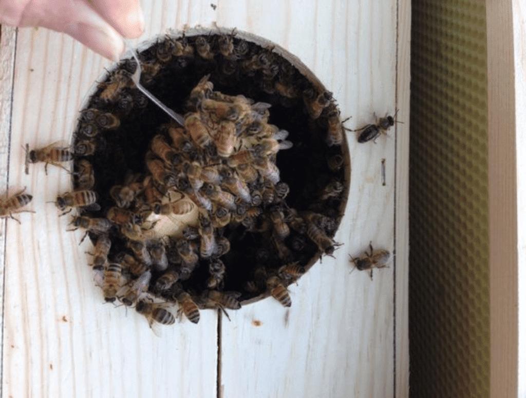retirando reina paquete de abejas