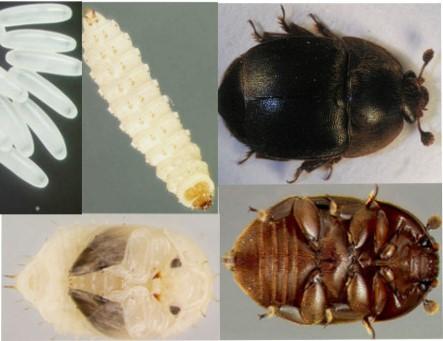 aethina tumida el escarabajo de la colmena