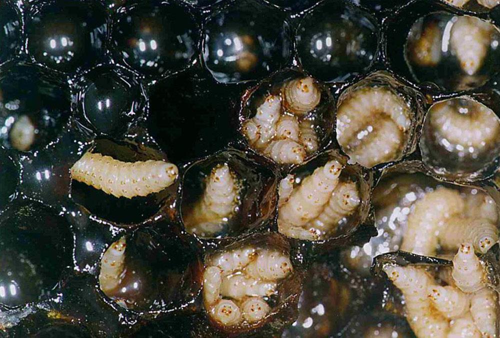 larvas escarbajo colmena