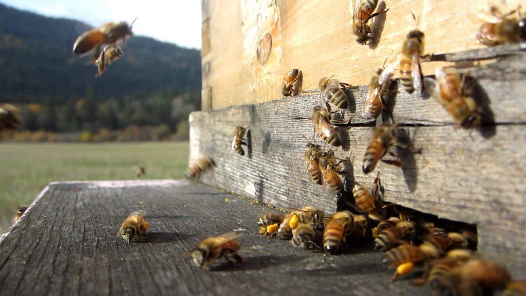inspeccionando colmenas