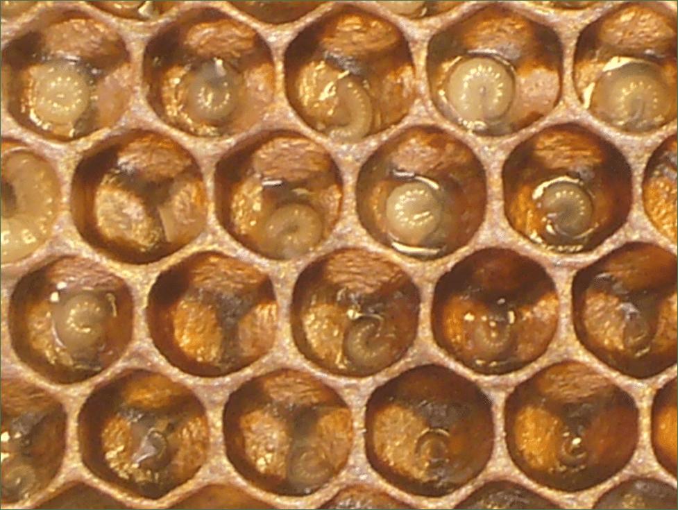 """Cuando hay escasez de alimento. Las nodrizas reducen la cantidad de jalea real que depositan en las celdas de las larvas. Esto se le llama """"cria seca""""."""