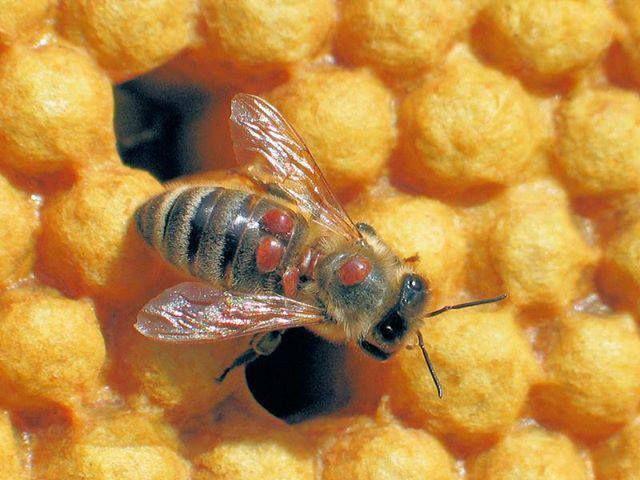 Varroa forética sobre la abeja